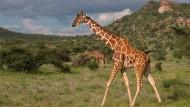 Bald nur noch in Gefangenschaft zu sehen? Giraffe in Kenia
