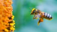 Für manche Insektenarten in Deutschland liegt der Populationsrückgang bei mehr als 70 Prozent – insbesondere Wildbienen sind davon betroffen.