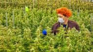 Der Cannabis-Anbau in Kanada boomt. Unternehmen und Käufer warten auf die Legalisierung im Herbst.