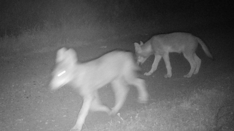 In die Fotofalle gegangen: ein Wolfrudel Ende Juli in Thüringen