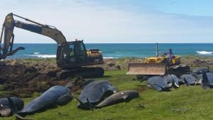 Mehr als 200 gestrandete Wale in weniger als einer Woche