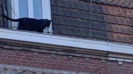 Panther schleicht auf Dächern umher