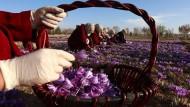 Safran-Anbau als Alternative zum Opium