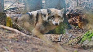 Wolf soll in Polen zwei Kinder angegriffen haben