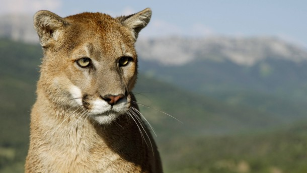 Jogger erwürgt Puma bei Angriff