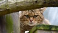 In den Wäldern zurück: Wildkatzen wie diese im Gehege des Wildtierparks im Edertal sind jetzt auch im Wald am Winterstein nachgewiesen worden.