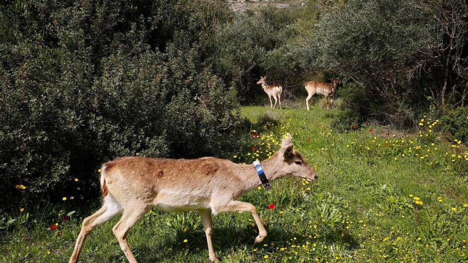 Ein Taunus-Hirsch in Jerusalem: Die Tiere wurden im Opel-Zoo gezüchtet