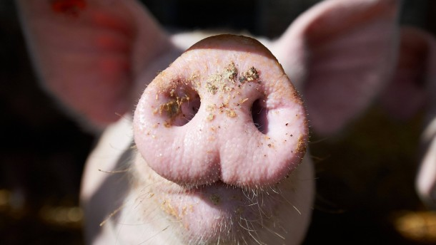 Gericht entscheidet über Tierversuche an lebenden Schweinen
