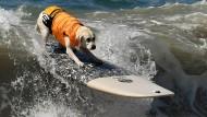 Hunde surfen in Kalifornien um die Wette