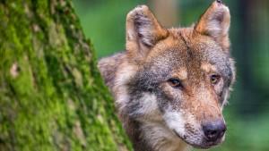 Wolf-Spuren in zwei Landkreisen in Hessen entdeckt