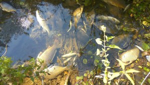Fischsterben durch giftiges Löschwasser