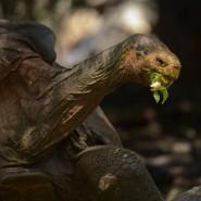 Verdienter Ruhestand: Diego hat seine Art vor dem Aussterben bewahrt. (Archivbild)