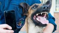 Feine Nase: Der zwei Jahre alte und speziell ausgebildete Schäferhund sucht in Gefängnissen nach Mobiltelefonen, Sim-Karten und Akkus.