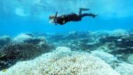 Eine Taucherin schnorchelt über ausgebleichten Korallen. Teile des Great Barrier Reef vor Australiens Nordostküste sind wegen wärmerer Meerestemperaturen erneut von einer massiven Korallenbleiche heimgesucht worden - der dritten binnen fünf Jahren.