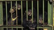 Konfiszierte Gallenbären in Hanoi