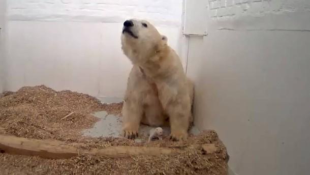 Berliner Eisbärenjunges ist tot