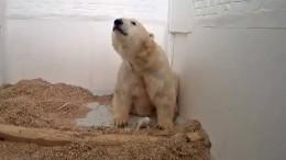 Eisbär-Baby öffnet die Augen