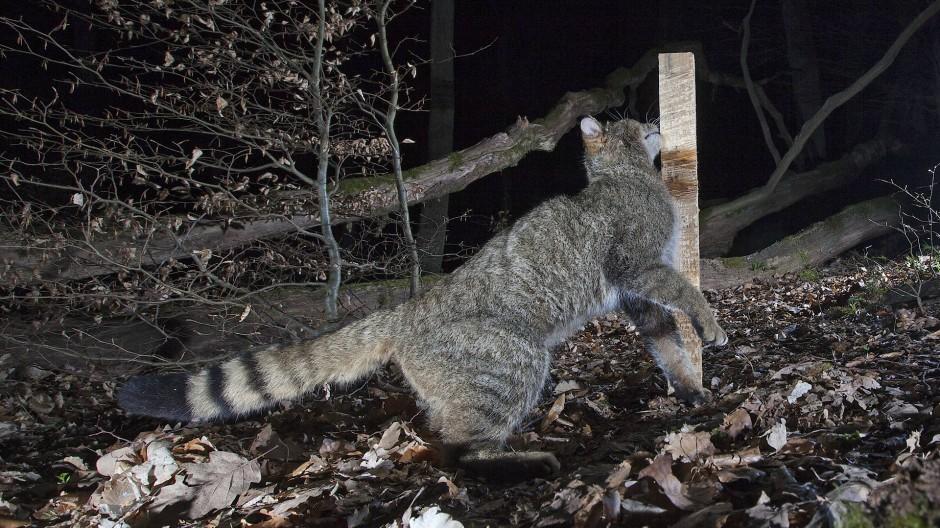Reibungsverlust: Mit Hilfe von Haaren an sogenannten Lockstöcken können Wildkatzen nachgeweisen werden.