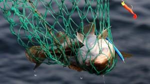 Weniger Hering, weniger Kabeljau für deutsche Fischer