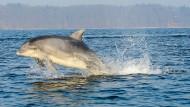 Sind Delfine Schweinswal-Killer?