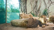 Vereint: Die asiatischen Löwen Zarina und Kumar als trautes Paar.