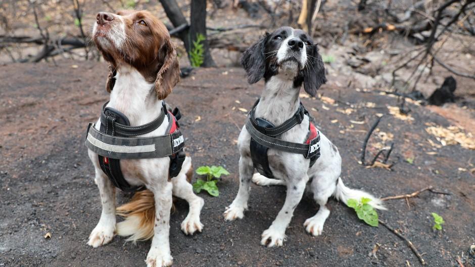 Tierische Retter: Die Spürhunde Taz (rechts) und Missy helfen in Australiens Buschbrand-Gebieten, Koalas aufzuspüren.