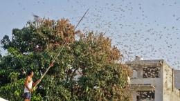 Heuschrecken-Invasion in Indien