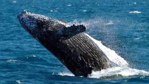 Segler stößt mit Wal zusammen