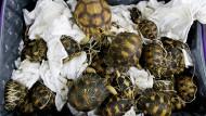 300 Schildkröten statt Steinen in Koffern