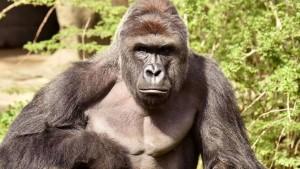Gorilla im Zoo verletzt Dreijährigen schwer