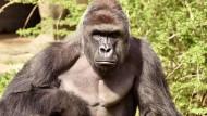 Der 17 Jahre alte Gorilla Harambe im Zoo von Cincinnati