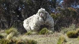 Wolle-Weltrekord-Schaf ist tot