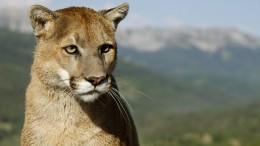 Puma tötet Radfahrer