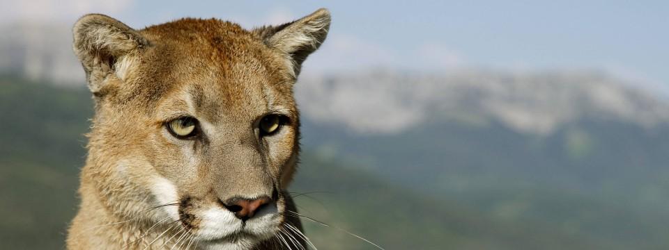 Pumas auf der Suche nach Teenagern