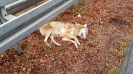 In Frankfurt überfahrener Wolf ein seltener Gen-Typ
