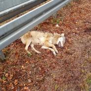 Seltener Gen-Typ: Dieser Wolf war Ende Januar in Frankfurt totgefahren worden