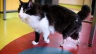 Prothesen für Katzen: Eine tiermedizinische Premiere