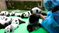 Erfolgreiche Panda-Zucht