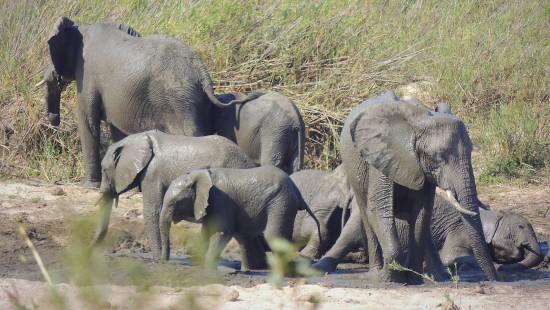 Wilde Elefanten dürfen nicht mehr exportiert werden