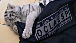 Französische Polizei beschlagnahmt weißes Tigerbaby