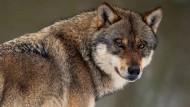 Erfolgreicher Räuber: Die Zahl der Wölfe in Deutschland wächst rasant.