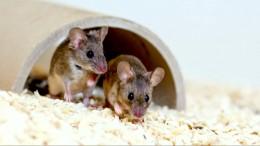 Das Geheimnnis der singenden Mäuse
