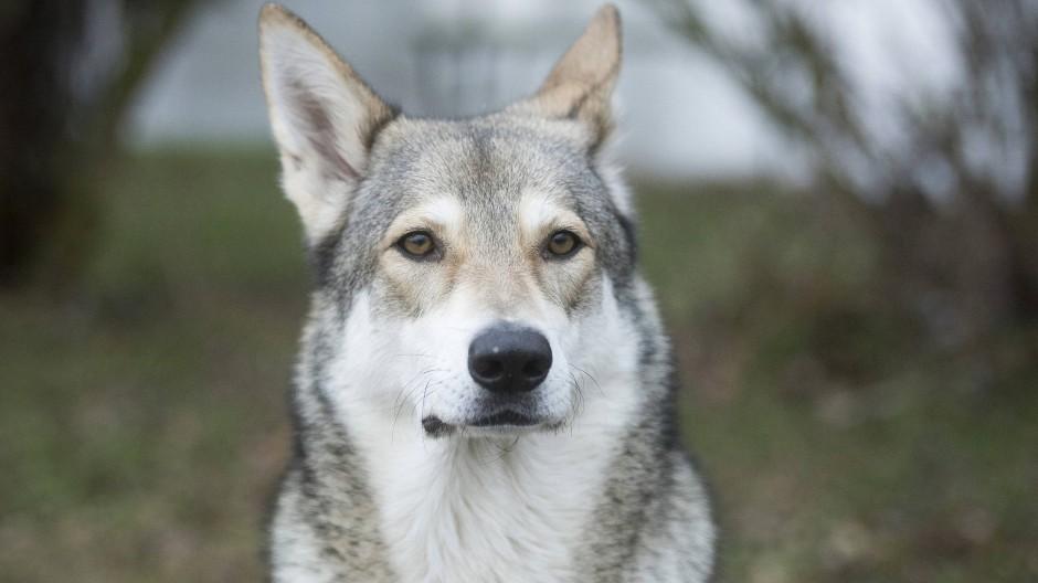 Auch der Saarlooswolfhund ist eine Kreuzung. Er sollte der bessere Deutsche Schäferhund werden. Ganz hat das nicht geklappt.