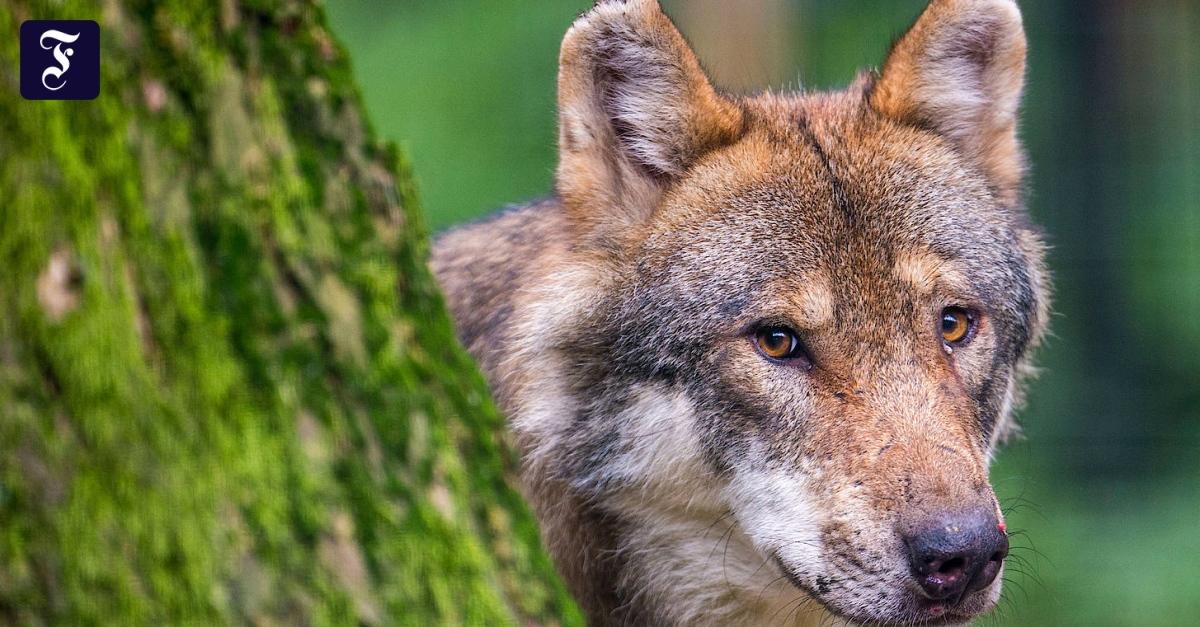 Kurzbesuch: Ein Wolf in Berlin