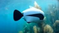 Der Fisch, der eine Drohne ist