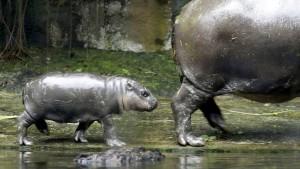 Handel mit Flusspferdzähnen nimmt dramatisch zu