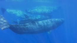 Wale fühlen sich vor Elba wieder wohl