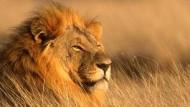 Rettung für den Dschungelkönig