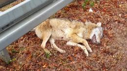 Überfahrenes Tier war ein Wolf