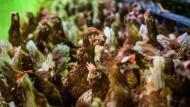 Hackordnung: Zurzeit werden Hühnern die Schnäbel gestutzt, damit sie sich nicht gegenseitig verletzen. In Zukunft sollen andere Möglichkeiten genutzt werden.